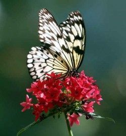 mariposa-encima-de-flor-roja