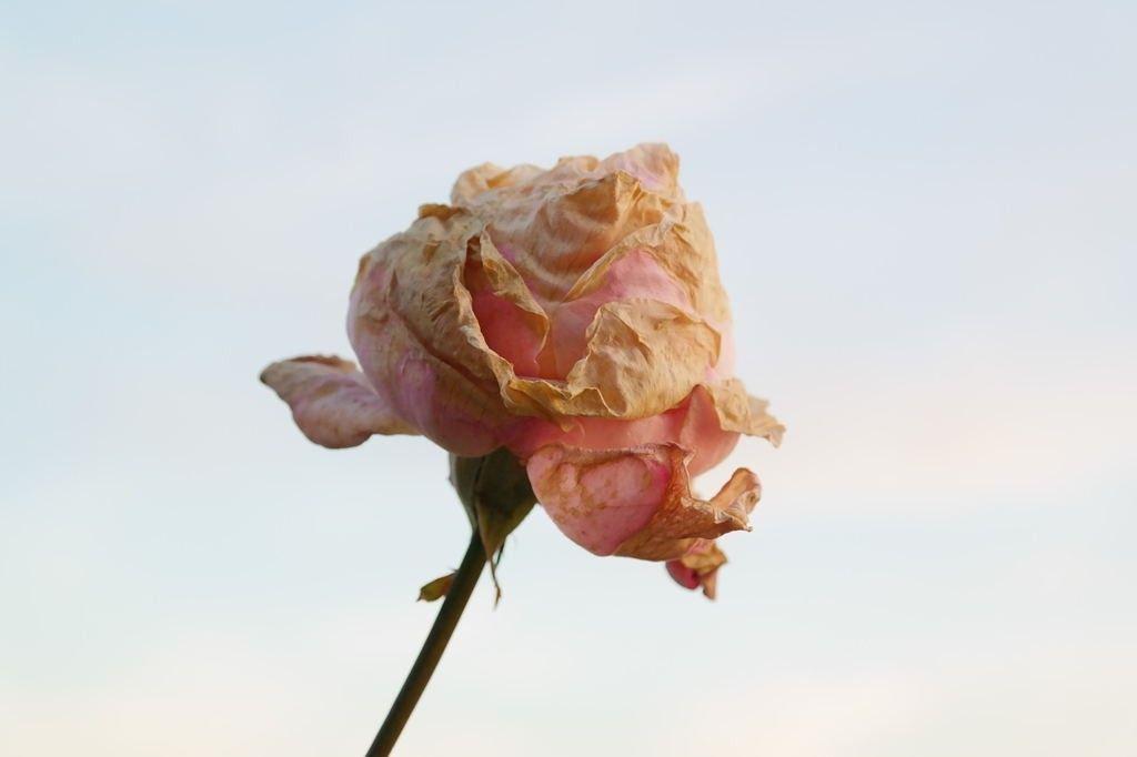 rosa-marchita